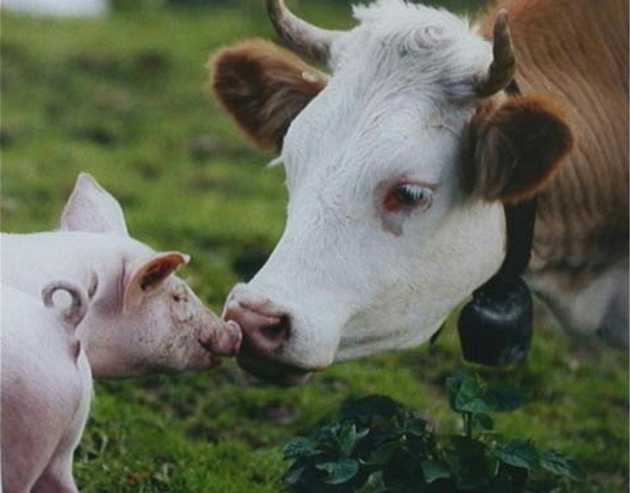 Photo of Корова и свинья. Короткая притча о жадности.